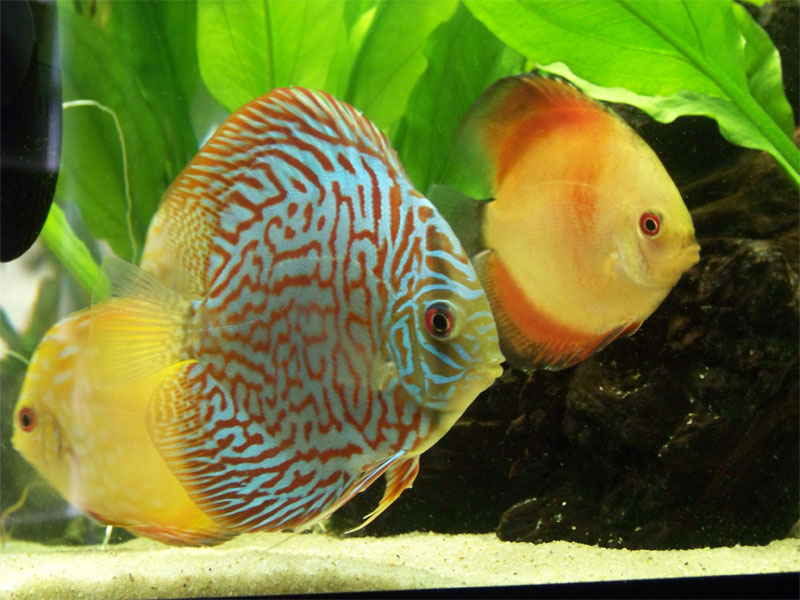 discusfish.jpg