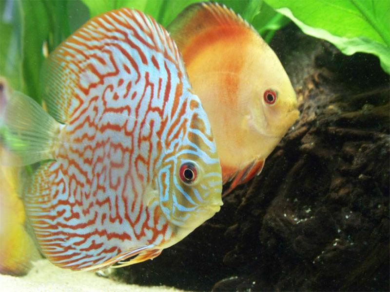 discusfish1.jpg