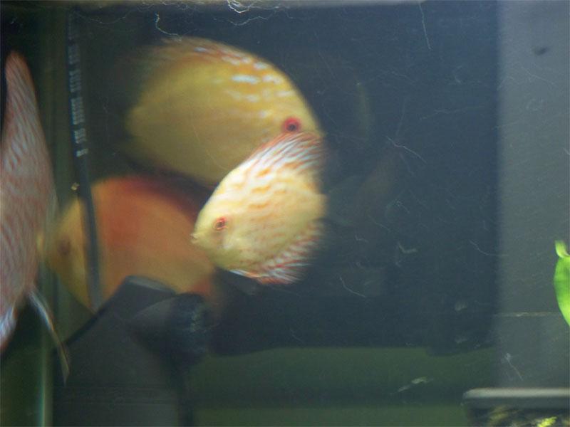 discusfish2.jpg
